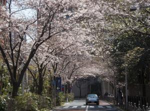 六本木さくら坂のソメイヨシノ