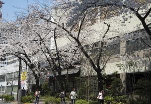 銀座さくら通りの桜