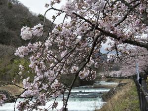 宮城野早川堤の桜