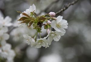 駿河台匂(スルガダイニオイ)
