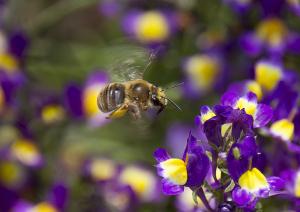 蜜蜂(ミツバチ)