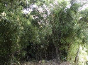 タイミンチク(大明竹)