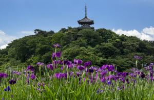 横浜・三渓園の花菖蒲