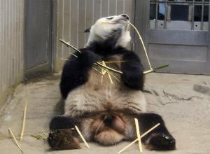 上野動物園のジャイアントパンダ「リーリー」