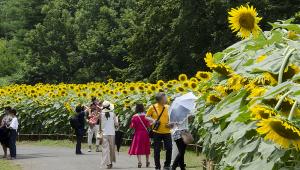国営昭和記念公園のヒマワリ
