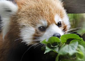 夢見ヶ先動物公園のシセンレッサーパンダ
