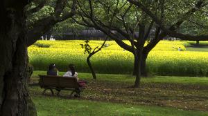 国営昭和記念公園のキバナコスモス「レモンブライト」