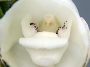 ペリステリア・エラタ(Peristeria erata)