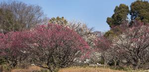 国営昭和記念公園の梅の花