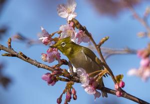 多摩川土手の河津桜とメジロ