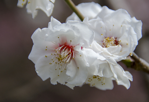 白牡丹(はくぼたん)