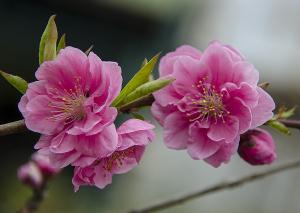ハナモモ(花桃)