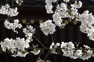 上野恩賜公園の桜