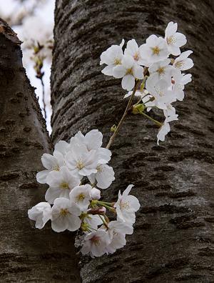 目黒川の桜(ソメイヨシノ)