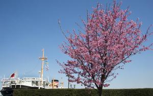 氷川丸と横浜緋桜(ヨコハマヒザクラ)