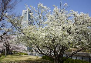 横浜・みなとみらいの桜