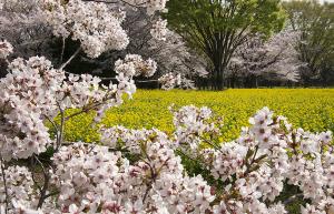 国営昭和記念公園のソメイヨシノ