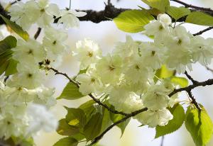 鬱金(ウコン)桜