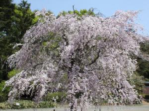 八重紅枝垂(ヤエベニシダレ)