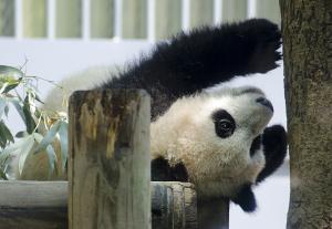上野動物園のシャンシャン