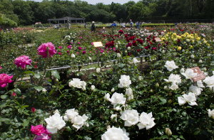 神代植物公園「春のバラフェスタ 2018」