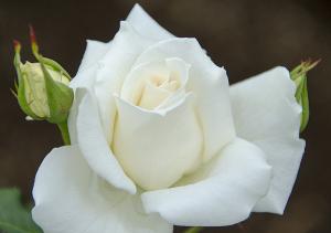 ブライダル・ホワイト