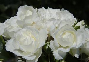 ホワイト・メイディランド