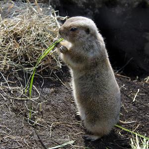 オグロプレーリードッグ (black-tailed prairie dog)