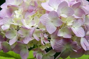 アジサイ(紫陽花)