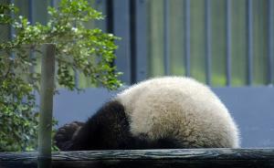 上野動物園のジャイアントパンダ、シャンシャン1歳の誕生日