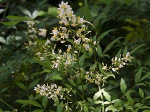ナンテン(南天)の花