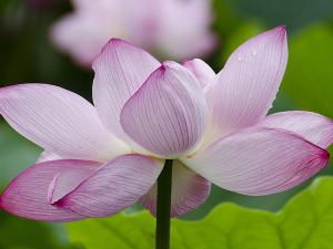 国営昭和記念公園のハスの花