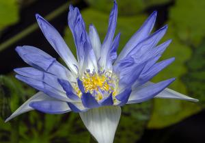 熱帯スイレン ブルー・スモーク