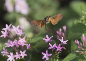 ペンタスの花にホシホウジャク