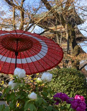 上野東照宮の冬牡丹