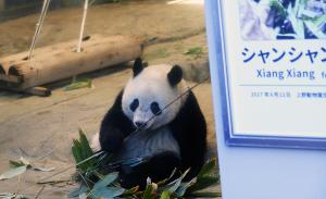 上野動物園のシャンシャン(香香)