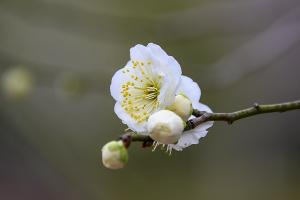 リョクガクバイ(緑萼梅)