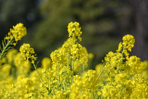浜離宮恩賜庭園の菜の花