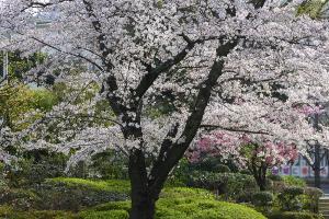 毛利庭園のソメイヨシノ