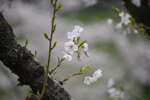 千鳥ヶ淵のソメイヨシノ