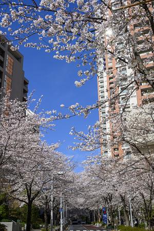 六本木「さくら坂」のソメイヨシノ