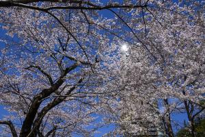 東京ミッドタウンの桜