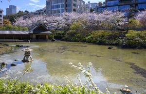 檜町公園の桜