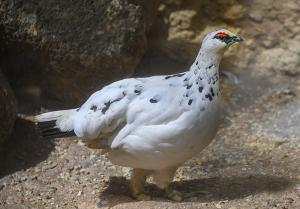 ニホンライチョウ(日本雷鳥