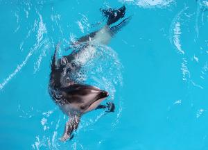 カマイルカ(鎌海豚)