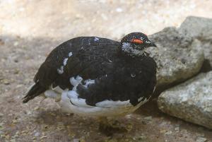 ニホンライチョウ(日本雷鳥)