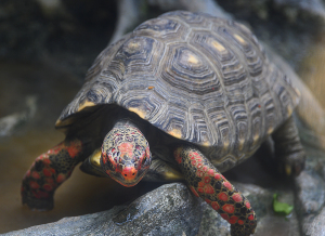 アカアシガメ(Red-footed tortoise)