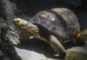 キアシガメ(Yellow-footed tortoise)
