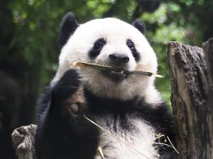 シャンシャン(香香 XiangXiang)