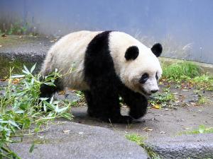 シャンシャン(Xiang Xiang)